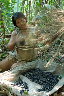 Kayapo woman collecting berries