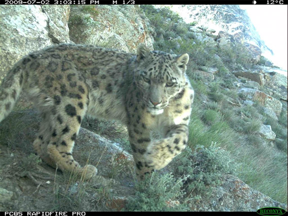 Snow leopard in the Wakhan Corridor caught on camera trap.
