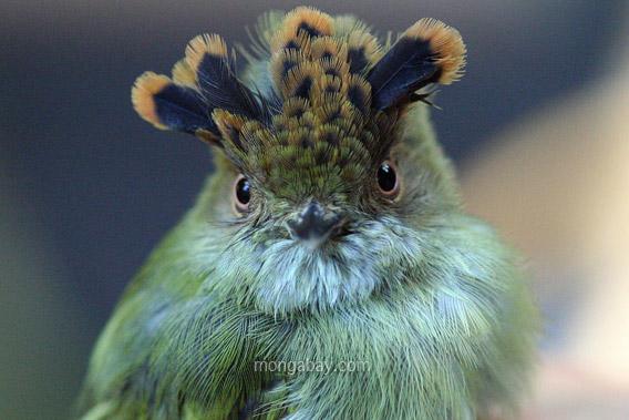 Microtyran chevelu au Costa Rica. Photo publiée avec l'aimable autorisation de Rhett Butler (2008).