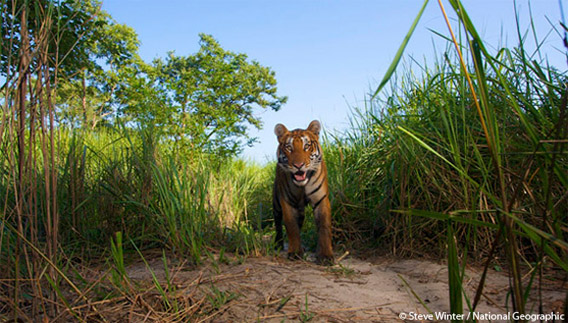 Save Tiger Images Save The Tiger Fund And