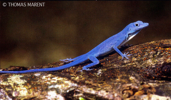 True blue lizard.