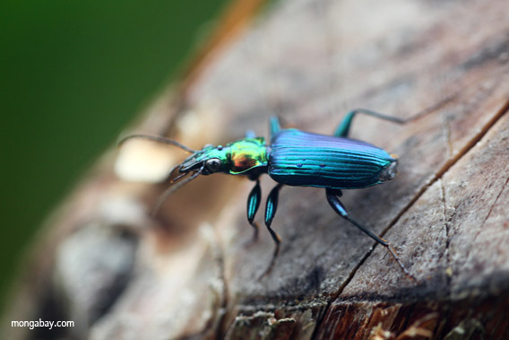 Scarabée bleu de Nouvelle-Guinée