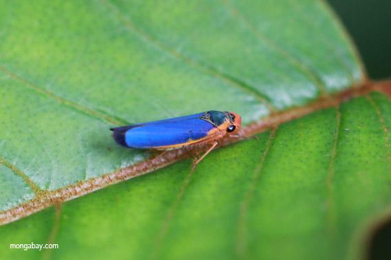 Blue planthopper
