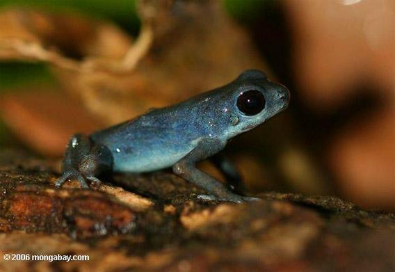 blueberry poison dart frog