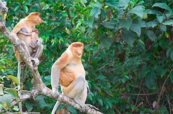 Proboscis monkey family members in the Lower Kinabatangan Wildlife Sanctuary.