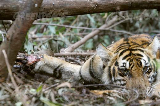 Dying tiger.