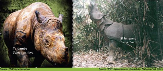 Javan and Sumatran rhinos.