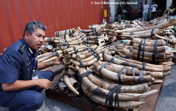 Datuk Zainul inspects the close to 700 elephant tusks seized on Friday in Malaysia Click image to enlarge © Star Publications (M) Berhad .