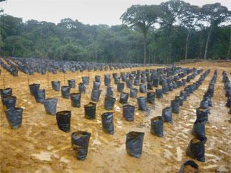 Une pépinière de palmiers à huile au Cameroun. Image fournie par la fondation SAVE.