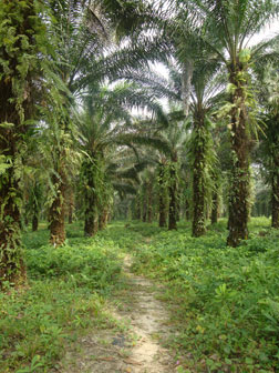Oil palm plantation in Cameroon.