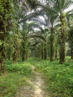 Plantation de palmiers à huile au Cameroun. Image fournie par un qui a tenu à rester anonyme.