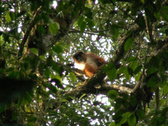 Singe Piliocolobus dans le parc national de Korup