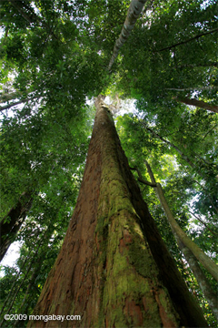 Giant rainforest tree in Sumatra