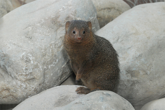 A dwarf mongoose surveys its new exhibit at the Wildlife Conservation Society's Prospect Park Zoo