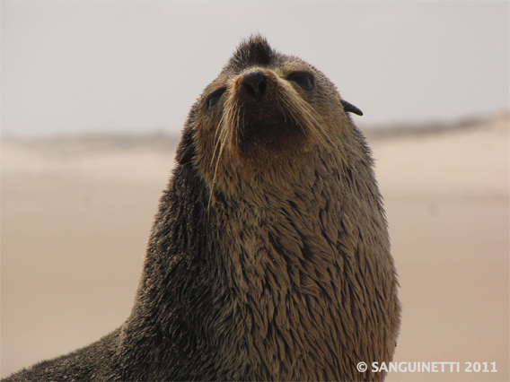 A male sub-antarctic fur seal on the beach between Louri and Tassi in Loango National Park, Gabon on September 1st, 2011.