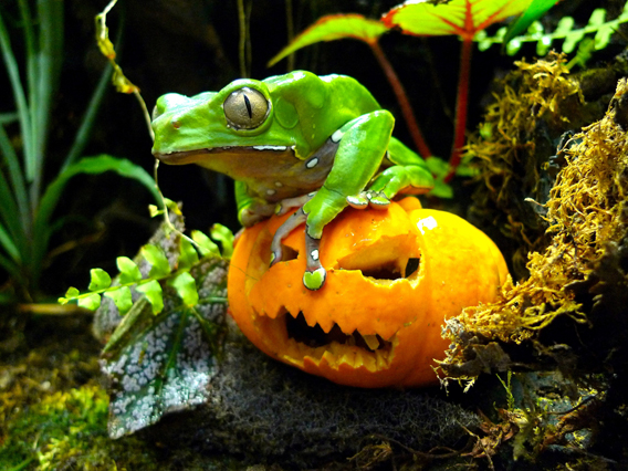 Giant monkey frog at ZSL.