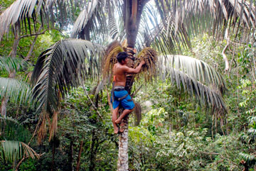 Sustainable Oenocarpus palm fruit harvest in the Caura Basin.
