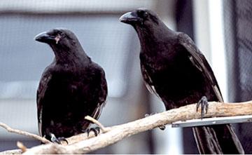 The Hawaiian Crow or Alala.