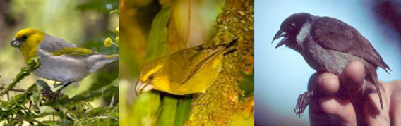 Non-native Birds species now common to Hawaii.
