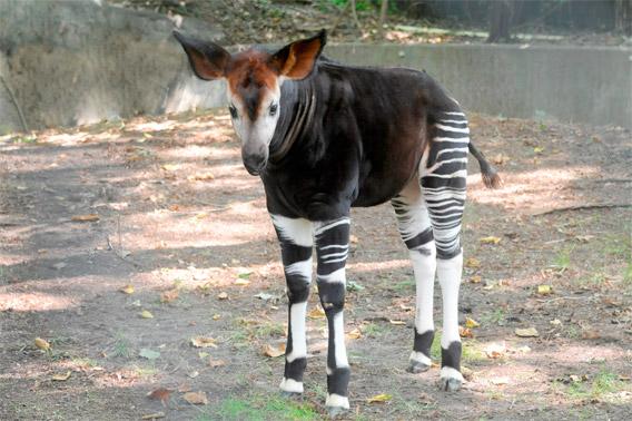 Baby okapi.