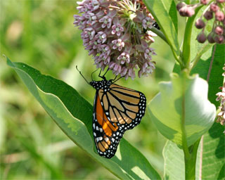 A monarch butterfly sips nectar from a common milkweed