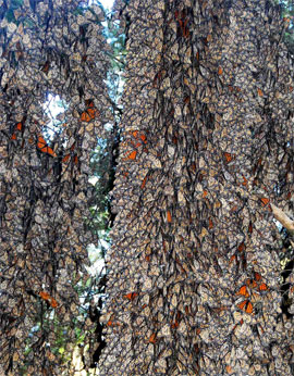 Overwintering monarch butterflies cluster on an oyamel fir trunk in Mexico.