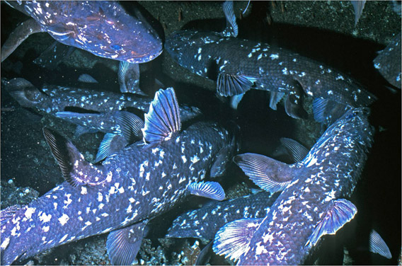 Group formation of coelacanths in a single cave off Grand Comore. Image by Hans Fricke.