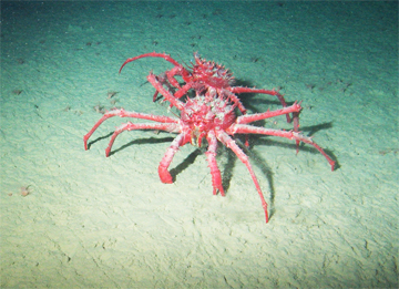 King crabs (Neolithodes yaldwyni) have been spotted for the first time on the Antarctic continental shelf. They are disrupting the environment in Palmer Deep.