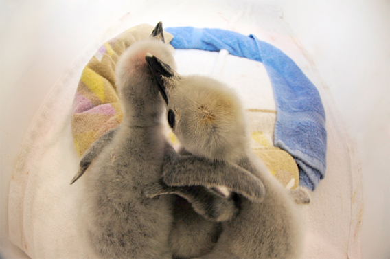 Chinstrap penguin chicks get cozy. Photo by: Julie Larsen Maher.