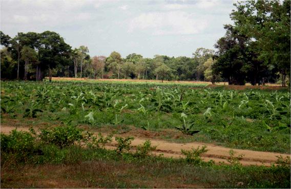 Dole and Letsgrow Ltd plantation in Somawathiya National Park. Photo courtesy of Environmental Foundation Limited.