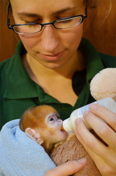 Baby Francois langur with keeper Kate Sanders at ZSL