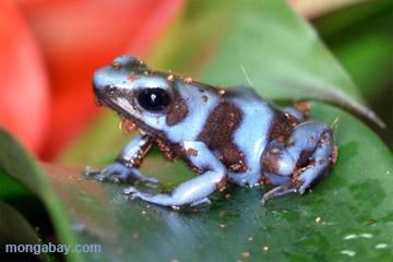 Blueberry dart frog