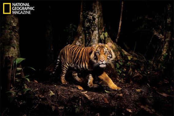 A tiger peers at a camera trap