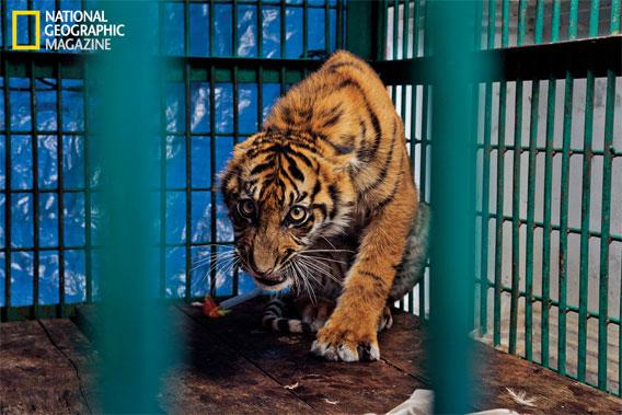 3-legged tiger