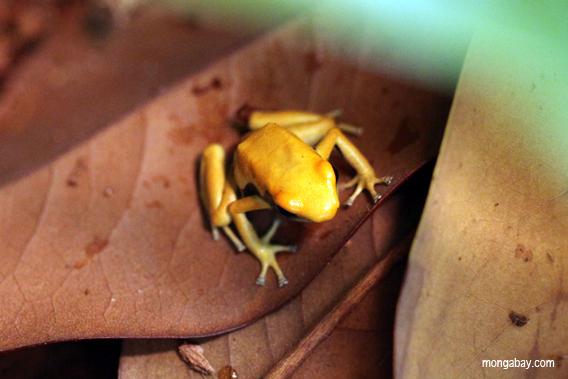 Golden dart frog.