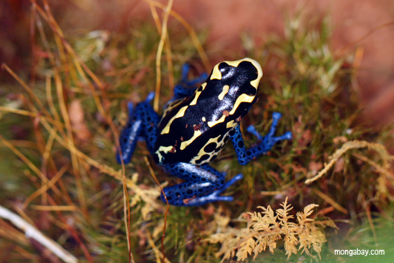 Blue-and-yellow poison frog.