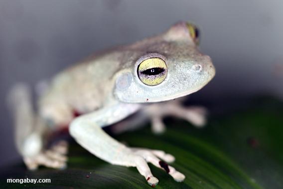 Emerald eyed tree frog.