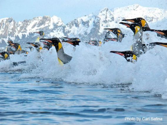 King Penguins coming ashore at Salisbury Plain on South Georgia Island.