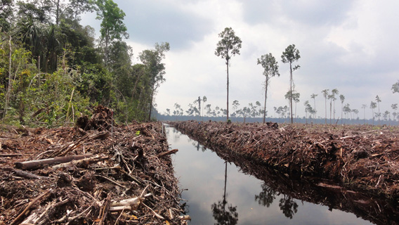 Peat draining and large-scale clearance of natural forest by APP wood supplier PT. Ruas Utama Jaya.
