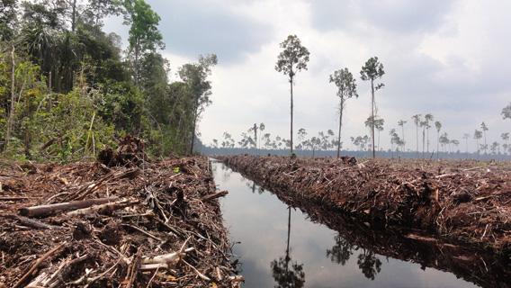 Trockenlegung von Torfmooren und großflächige Rodung von Urwäldern durch den Holzlieferanten der Firma APP, PT. Ruas Utama Jaya in APPs Senepis-Tigerschutzgebiet im Juni und Oktober 2011. © Eyes of the Forest / WWF-Indonesia