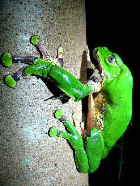 Giant Monkey Frog (Phyllomedusa bicolor).