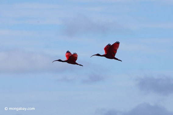 """positive effects of pride in the scarlet ibis Pride can produce the most varied effects it has the potential to do good, but it can also be immensely destructive in """"the scarlet ibis"""", by james hurst, the different results of pride are a common theme seen throughout the story."""