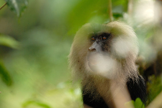 essay monkey Free sample biology essay on colobus monkey in africa there are many types of animals, one of them is the colobus monkey there are different types of colobus.