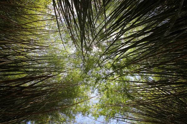 Bamboo in Panama
