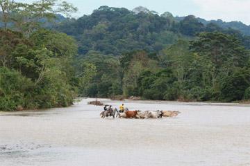 Vaqueiros conduzindo a travessia do gado por um rio próximo à Peñaloza. Foto de Rhett A. Butler