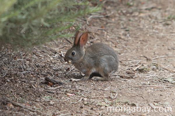 Brush Rabbit (Sylvilagus bachmani) in Big Sur.