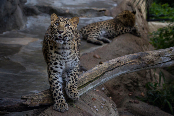 11-month-old Amur leopards at the San Diego Zoo.