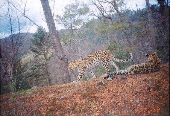 Wild amur leopard