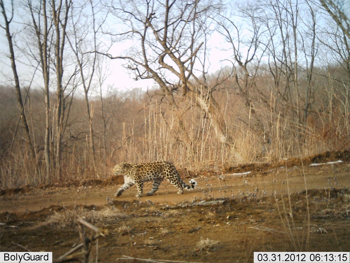 Amur leopard in China.