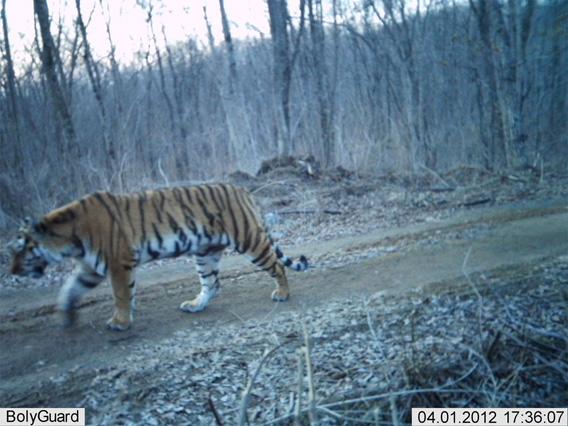 Amur Tiger in China.